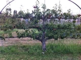 arbre Versailles