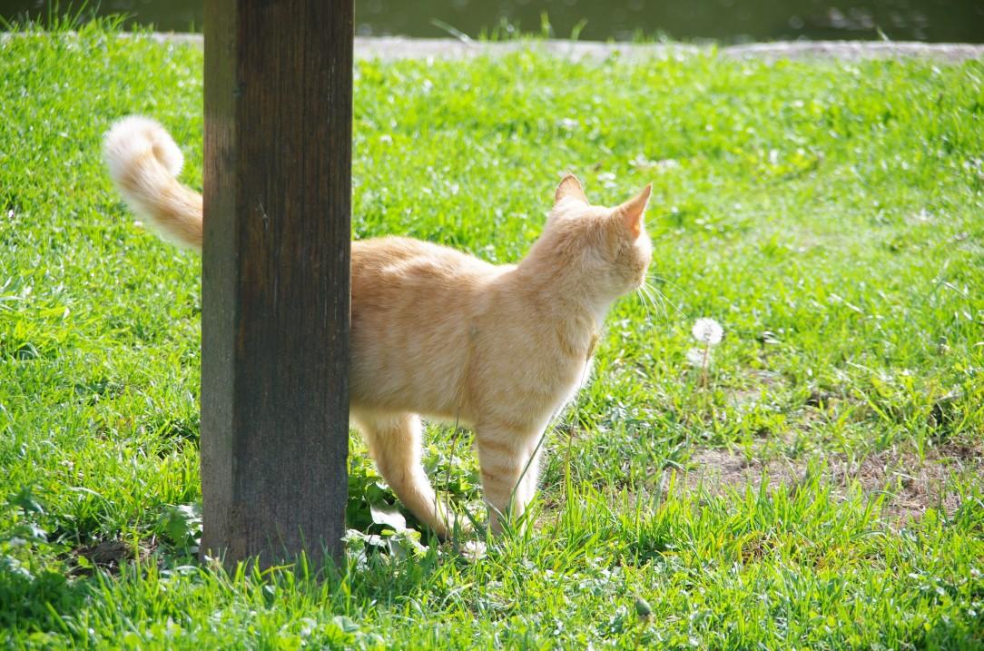chat mayennais